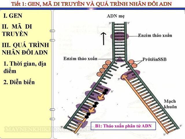 Bước 1 quá trình nhân đôi ADN