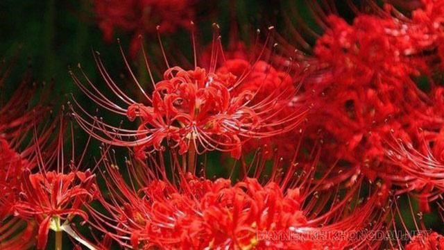 Giới thiệu về hoa bỉ ngạn